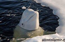 Белуха дельфин. Образ жизни и среда обитания белухи