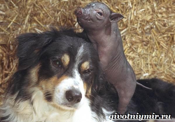 Бордер-колли-собака-Описание-особенности-уход-и-цена-бордер-колли-10