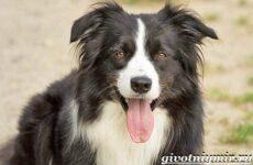 Бордер-колли собака. Описание, особенности, уход и цена бордер колли