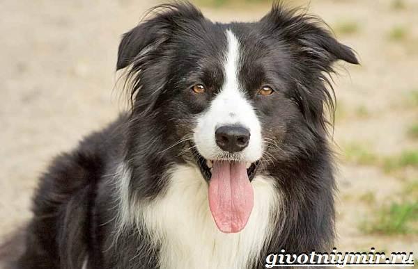 Бордер-колли-собака-Описание-особенности-уход-и-цена-бордер-колли-12