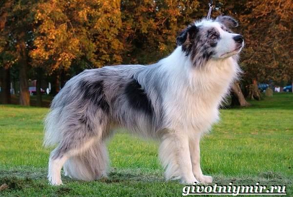 Бордер-колли-собака-Описание-особенности-уход-и-цена-бордер-колли-13