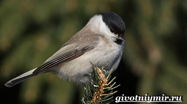 Буроголовая-гаичка-птица-Образ-жизни-и-среда-обитания-буроголовой-гаички-1
