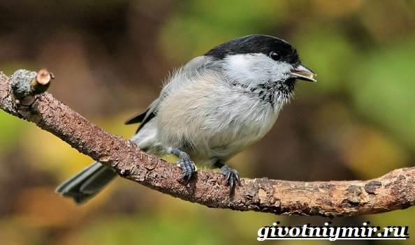 Буроголовая-гаичка-птица-Образ-жизни-и-среда-обитания-буроголовой-гаички-10