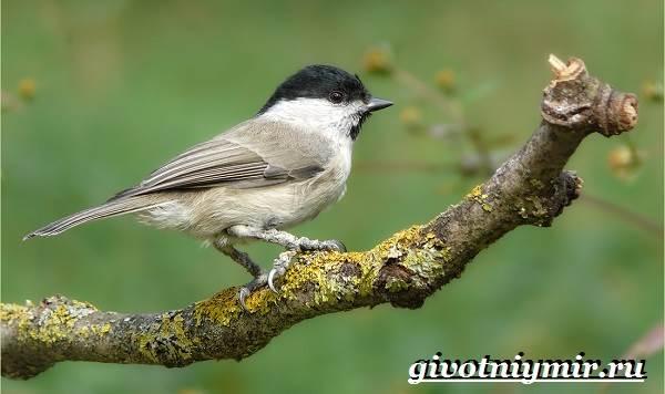 Буроголовая-гаичка-птица-Образ-жизни-и-среда-обитания-буроголовой-гаички-11