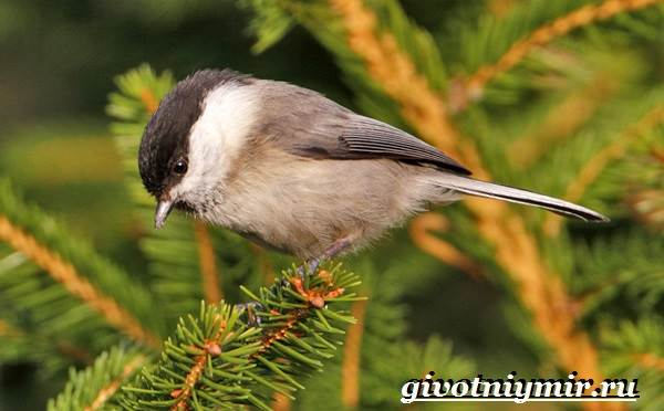 Буроголовая-гаичка-птица-Образ-жизни-и-среда-обитания-буроголовой-гаички-3