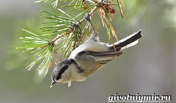 Буроголовая-гаичка-птица-Образ-жизни-и-среда-обитания-буроголовой-гаички-4