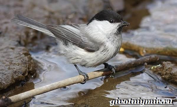 Буроголовая-гаичка-птица-Образ-жизни-и-среда-обитания-буроголовой-гаички-5