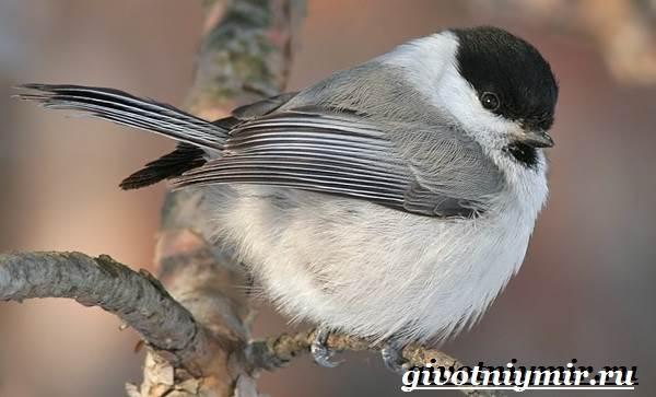 Буроголовая-гаичка-птица-Образ-жизни-и-среда-обитания-буроголовой-гаички-6