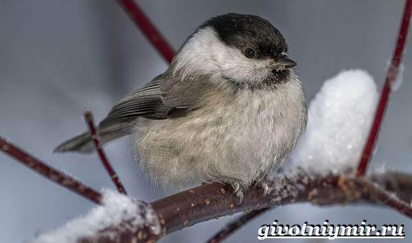 Буроголовая-гаичка-птица-Образ-жизни-и-среда-обитания-буроголовой-гаички-7
