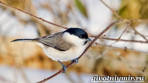 Буроголовая-гаичка-птица-Образ-жизни-и-среда-обитания-буроголовой-гаички-8