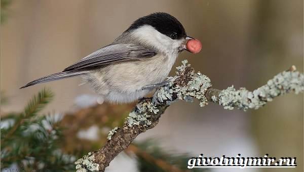 Буроголовая-гаичка-птица-Образ-жизни-и-среда-обитания-буроголовой-гаички-9