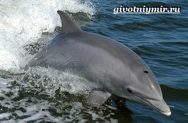 Дельфин-афалина-Образ-жизни-и-среда-обитания-дельфина-афалина-2