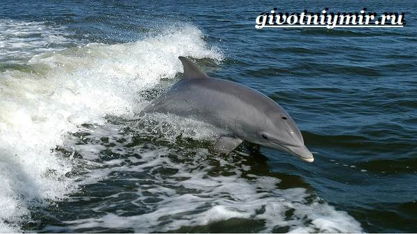 Дельфин-афалина-Образ-жизни-и-среда-обитания-дельфина-афалина-3