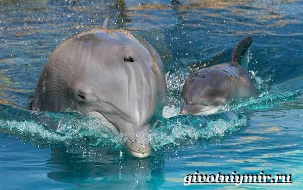 Дельфин-афалина-Образ-жизни-и-среда-обитания-дельфина-афалина-9