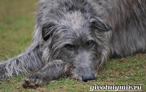 Дирхаунд-собака-Описание-особенности-уход-и-цена-дирхаунда-2