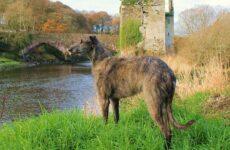 Дирхаунд собака. Описание, особенности, уход и цена дирхаунда