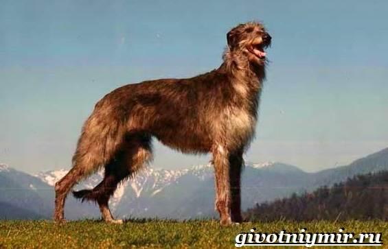 Дирхаунд-собака-Описание-особенности-уход-и-цена-дирхаунда-3