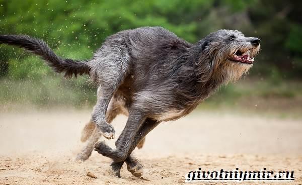 Дирхаунд-собака-Описание-особенности-уход-и-цена-дирхаунда-4