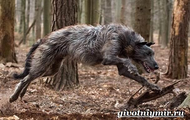 Дирхаунд-собака-Описание-особенности-уход-и-цена-дирхаунда-5