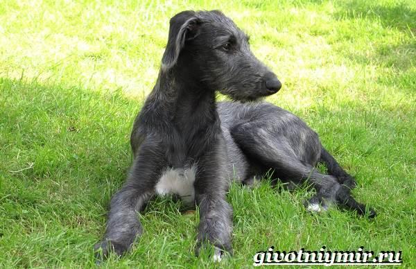 Дирхаунд-собака-Описание-особенности-уход-и-цена-дирхаунда-6