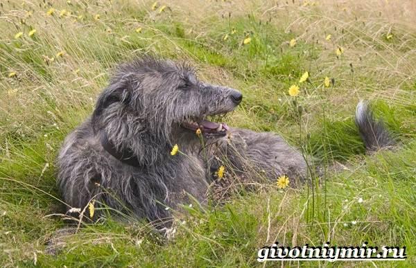 Дирхаунд-собака-Описание-особенности-уход-и-цена-дирхаунда-7