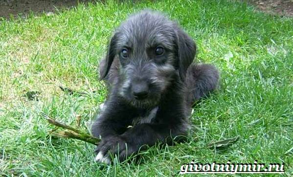 Дирхаунд-собака-Описание-особенности-уход-и-цена-дирхаунда-8