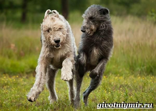Дирхаунд-собака-Описание-особенности-уход-и-цена-дирхаунда-9