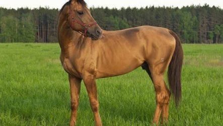 Донская лошадь. Описание, особенности, виды, уход и цена донской лошади