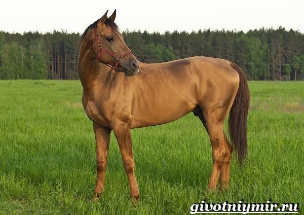 Донская-лошадь-Описание-особенности-виды-уход-и-цена-донской-лошади-1