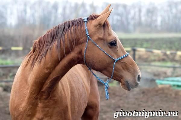 Донская-лошадь-Описание-особенности-виды-уход-и-цена-донской-лошади-11