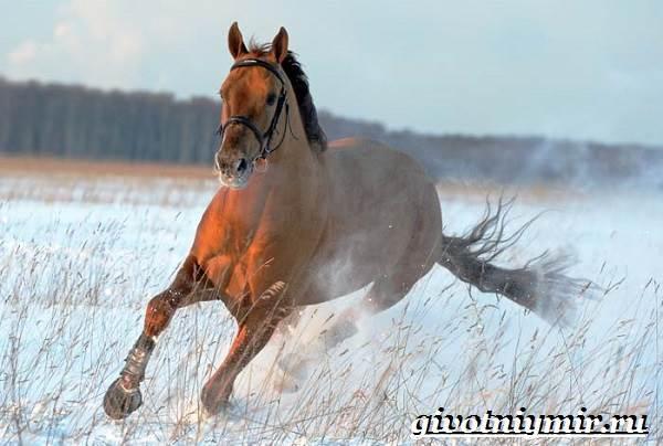 Донская-лошадь-Описание-особенности-виды-уход-и-цена-донской-лошади-12