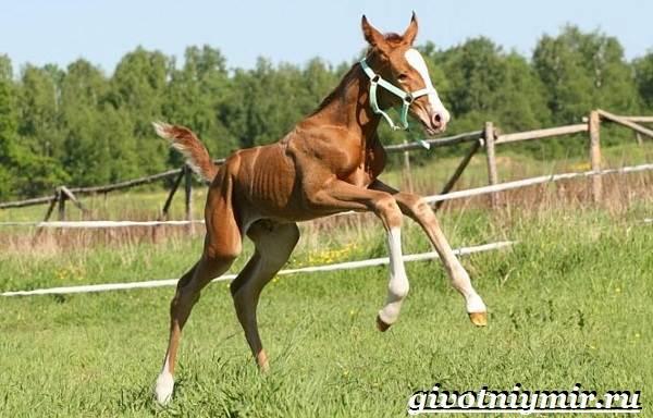 Донская-лошадь-Описание-особенности-виды-уход-и-цена-донской-лошади-13