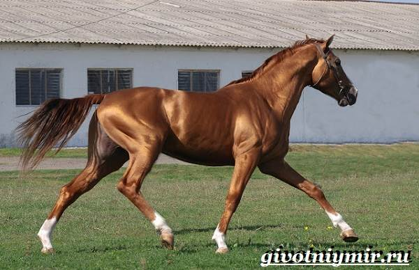 Донская-лошадь-Описание-особенности-виды-уход-и-цена-донской-лошади-4