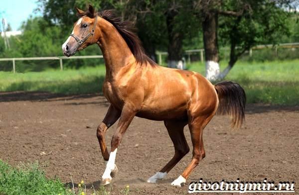 Донская-лошадь-Описание-особенности-виды-уход-и-цена-донской-лошади-8