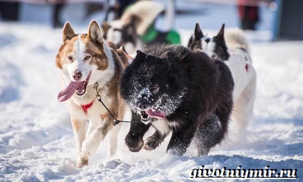 Ездовая-собака-Породы-ездовых-собак-Обучение-ездовых-собак-1