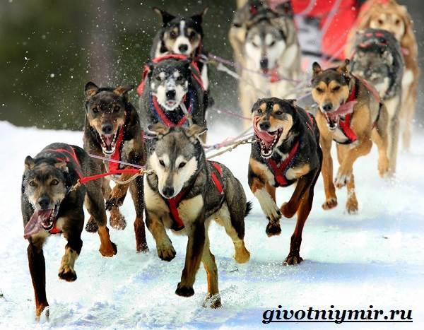 Ездовая-собака-Породы-ездовых-собак-Обучение-ездовых-собак-10