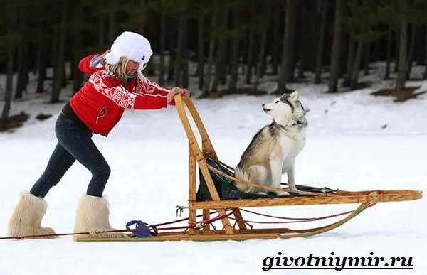 Ездовая-собака-Породы-ездовых-собак-Обучение-ездовых-собак-11