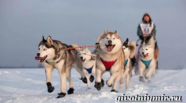 Ездовая-собака-Породы-ездовых-собак-Обучение-ездовых-собак-2