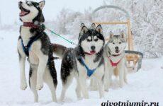 Ездовая собака. Породы ездовых собак. Обучение ездовых собак