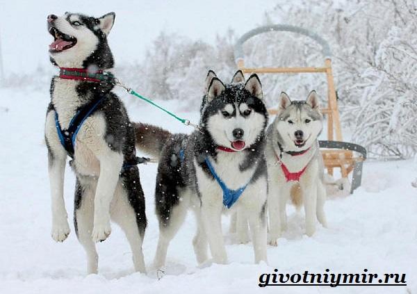 Ездовая-собака-Породы-ездовых-собак-Обучение-ездовых-собак-3