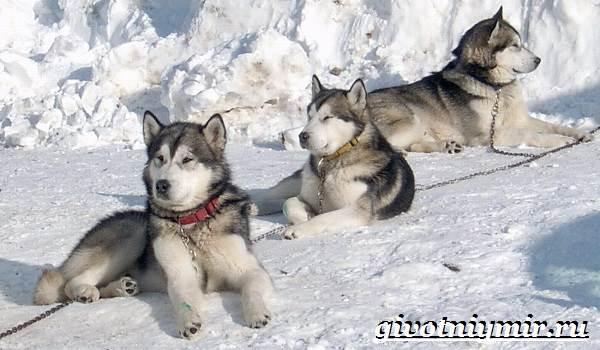 Ездовая-собака-Породы-ездовых-собак-Обучение-ездовых-собак-4