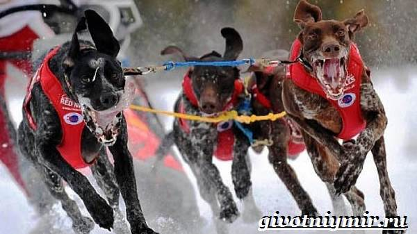 Ездовая-собака-Породы-ездовых-собак-Обучение-ездовых-собак-5