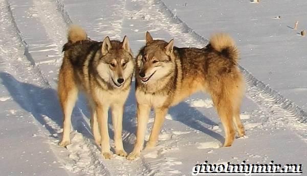 Ездовая-собака-Породы-ездовых-собак-Обучение-ездовых-собак-6