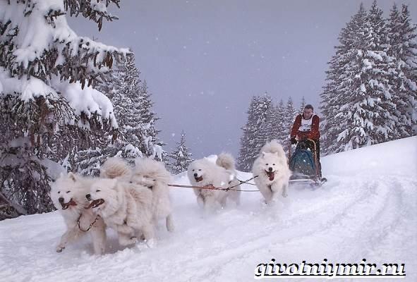 Ездовая-собака-Породы-ездовых-собак-Обучение-ездовых-собак-7