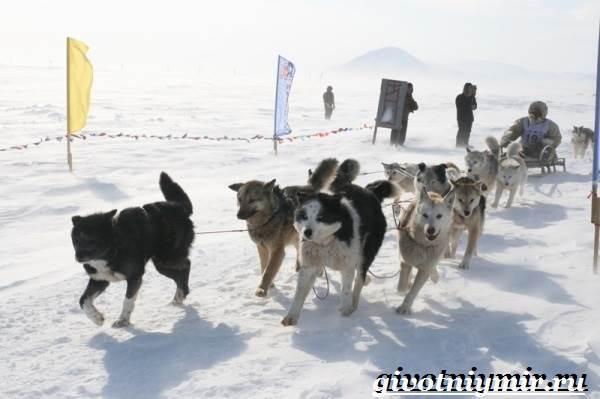Ездовая-собака-Породы-ездовых-собак-Обучение-ездовых-собак-8