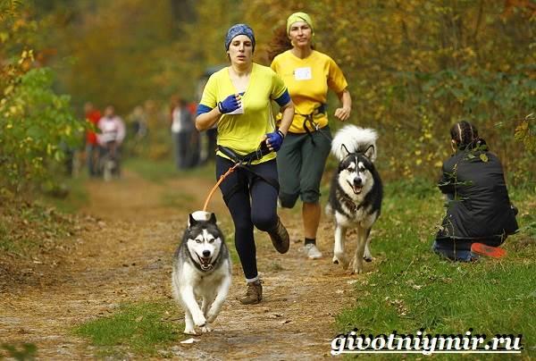 Ездовая-собака-Породы-ездовых-собак-Обучение-ездовых-собак-9