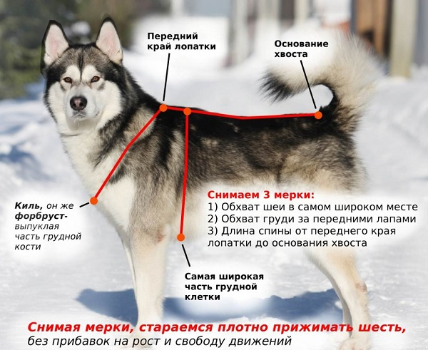 Ездовая-собака-Породы-ездовых-собак-Обучение-ездовых-собак