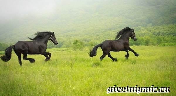 Фризская-лошадь-Описание-содержание-уход-и-цена-фризской-лошади-10
