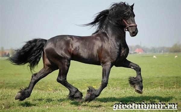 Фризская-лошадь-Описание-содержание-уход-и-цена-фризской-лошади-2