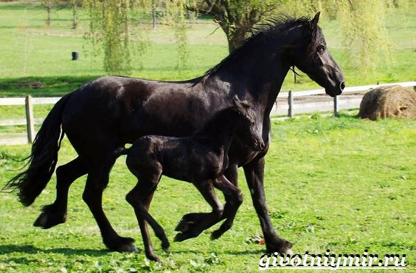 Фризская-лошадь-Описание-содержание-уход-и-цена-фризской-лошади-8